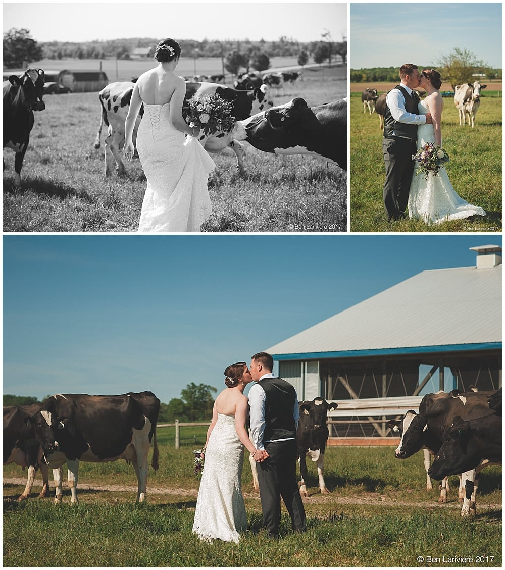 bride and groom wedding photos in cow field