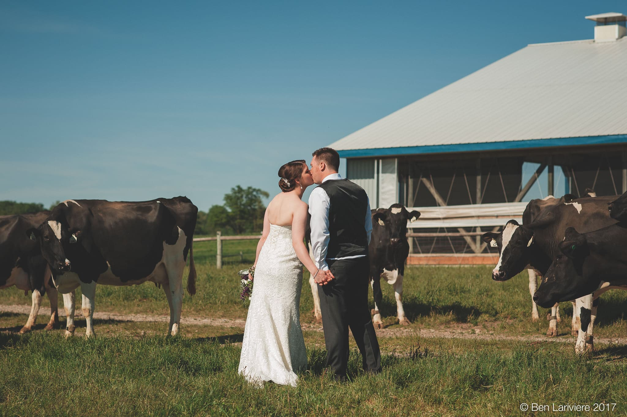 bride and groom kiss in cow field