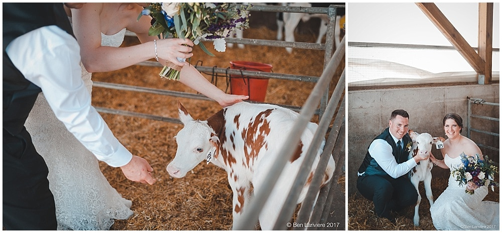 bride and groom posing with a white and red baby cow, calf